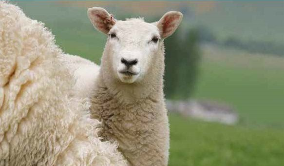 FUW and industry groups draw up new shearing guidelines