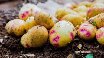 Potato sales rise to 2.2m tonnes amid AHDB campaign success
