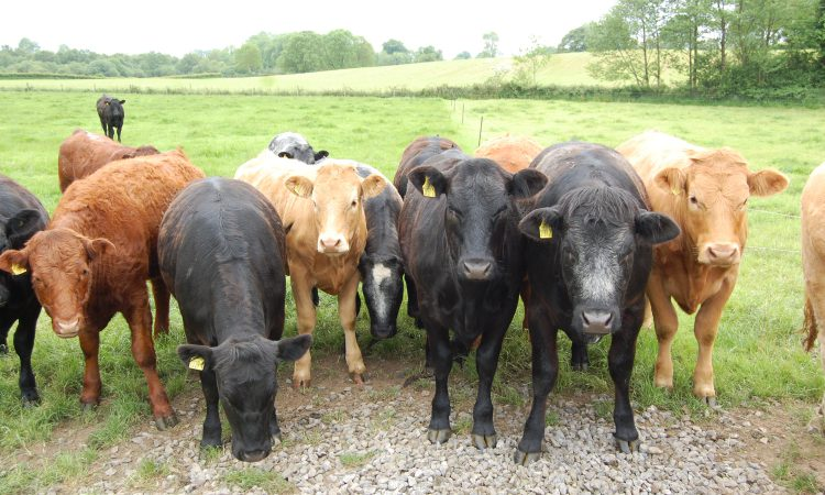 No let-up in cattle prices – but lamb prices improve