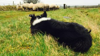 NSA campaign successfully highlights devastating impact of sheep worrying by dogs