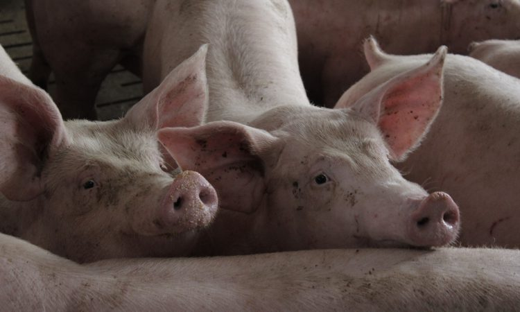 UK and Australia join forces in simulated African swine fever exercise