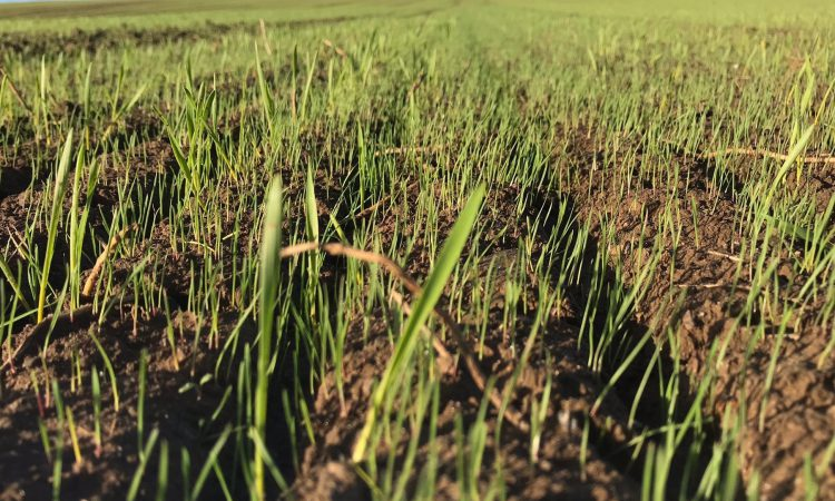 Added reasons to not rush into winter cereal drilling this year
