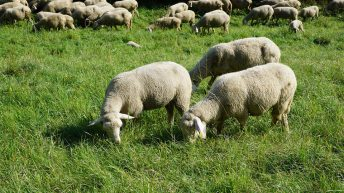 Export success for sheep meat in 2020