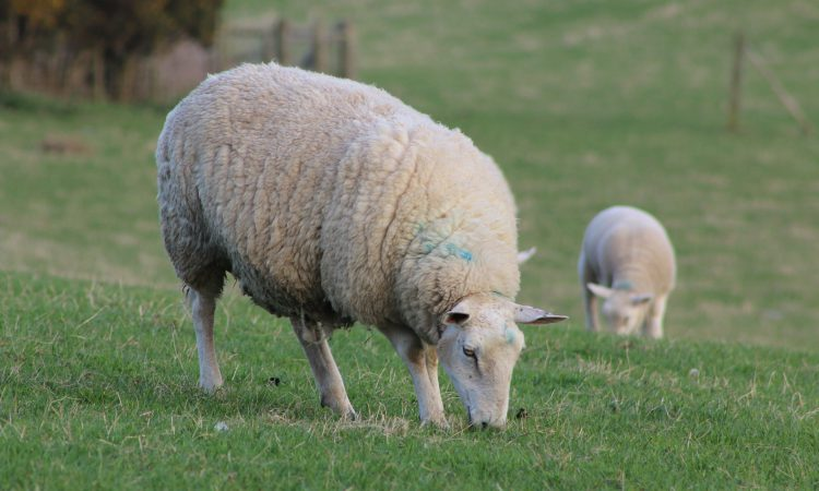 NSA seeks answers over Agricultural Bill's sheepmeat omission
