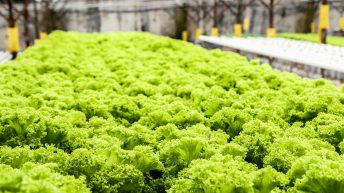 UK salad trial aims for year-round growth