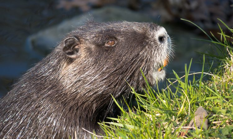 NFUS: Beaver protection focus must turn to management and licencing