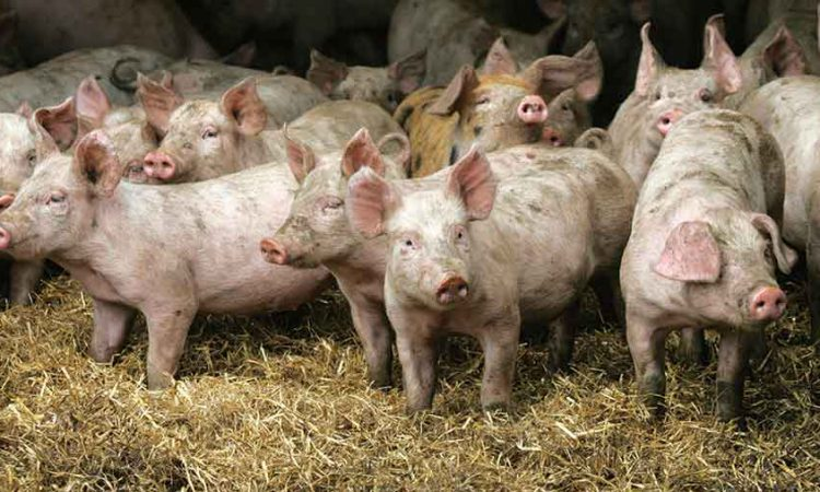 Pigmeat prices continue to drift downwards with the threat of Covid-19 and ASF