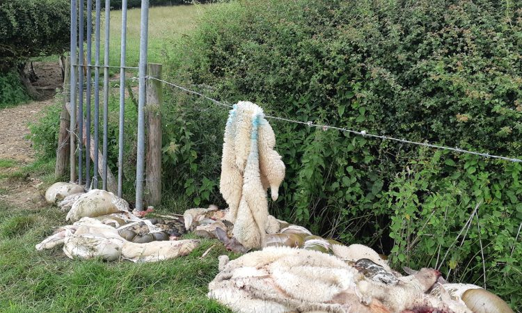 Operation Stock: 25 more sheep illegally slaughtered