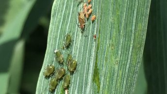 Volunteers needed to catch cereal aphids red-handed