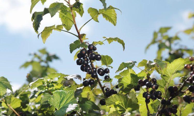 British blackcurrant harvest beats climate change predictions