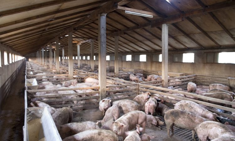 5 new cases of African swine fever in Germany