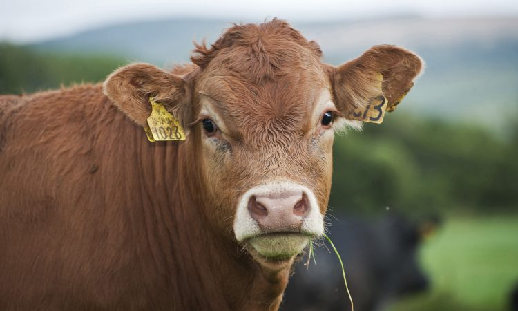 Pedigree Limousin up for grabs in 'Orchard County' fundraiser