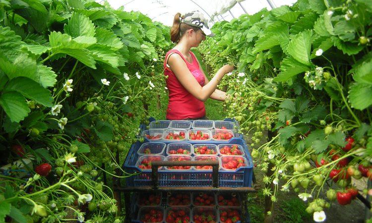Seasonal worker shortage sees eastern Europeans flown into UK