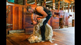 Oxfordshire farmer to attempt new world sheep shearing record