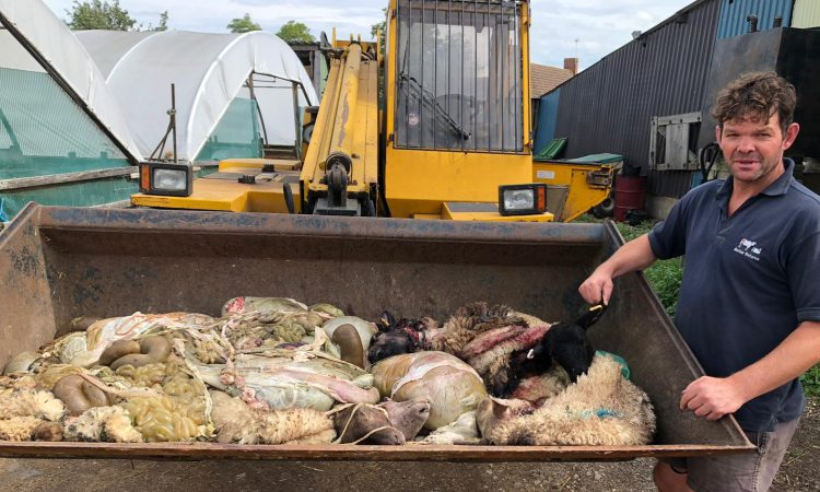 Farmer speaks of his devastation after illegal butchery of lambs and sheep