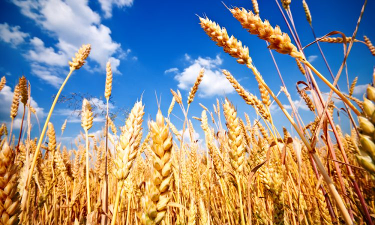 New cereal and oilseed rape Recommended Lists published