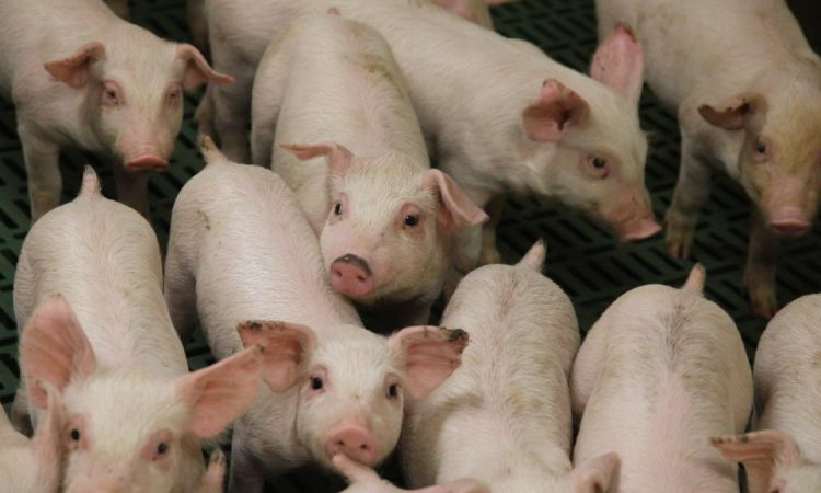 Pig herd to be more efficient after ASF, but consumption down