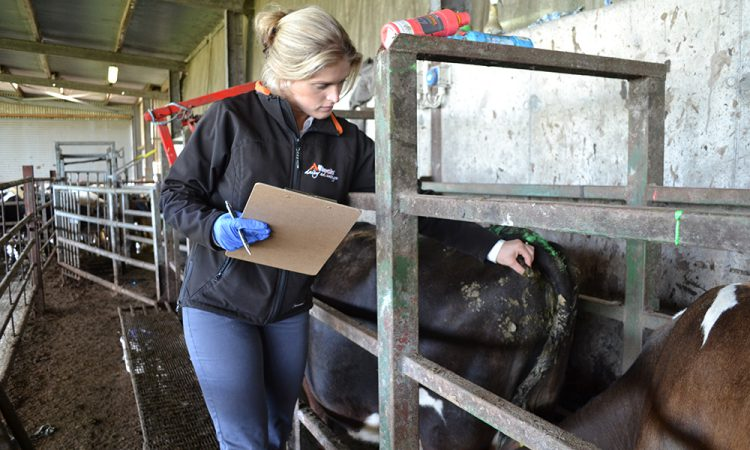 Body condition score: Are your cows on track for drying off?
