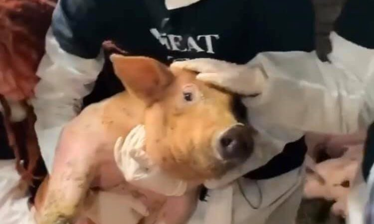 Vegan protesters take pig from Northern Ireland farm