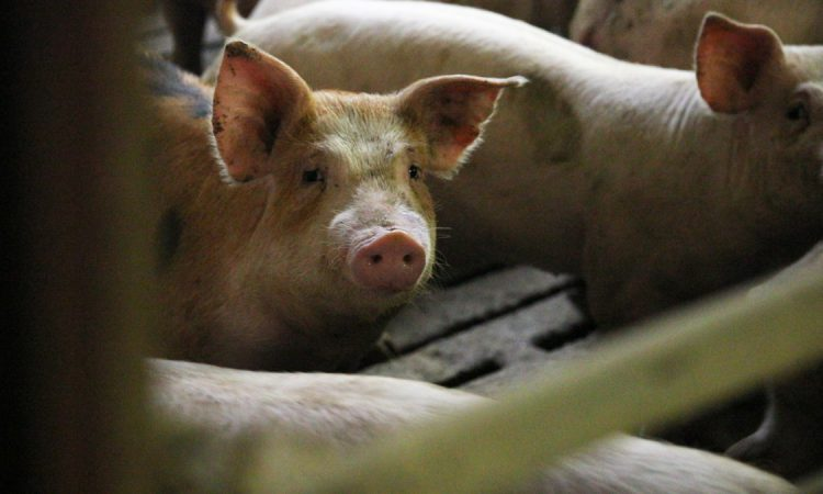 Bulgaria to cull 24,500 pigs after ASF outbreak