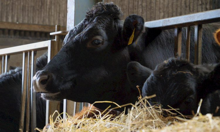 Angus quality bonus 'worth up to 20c/kg' on in-spec animals