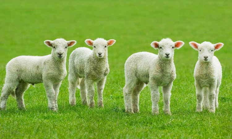 Consumers urged to buy Welsh lamb to support family farms
