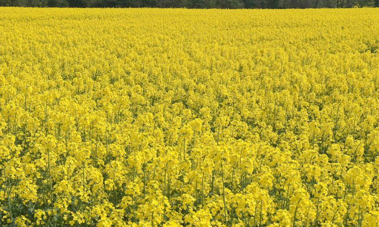 Oilseed rape plantings fall to lowest level since 1986