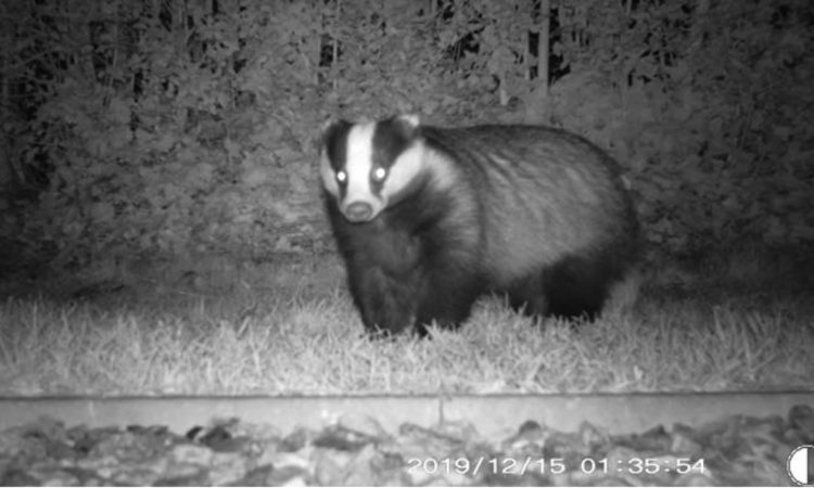 Study suggests humans transported badgers from Britain to Ireland