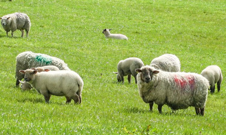 AHDB states that the sheep sector 'is at a crossroads' in its long-term outlook report
