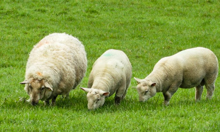 NSA welcomes launch of improved methods for controlling sheep scab
