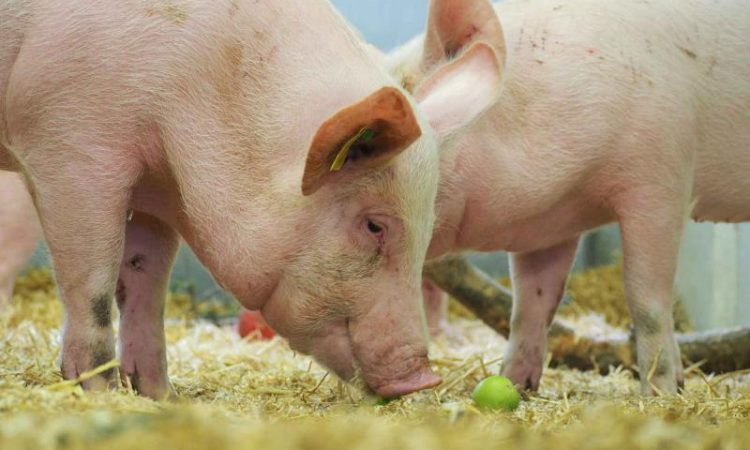 Pirbright study tests new flu vaccine administration methods on pigs
