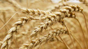 Grain price: Australian wheat production takes massive jump