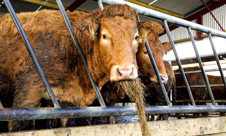 'Business case approved' for new AFBI beef unit