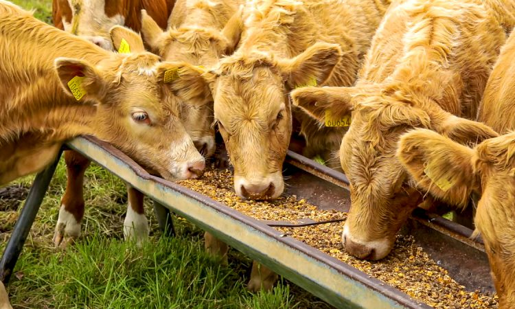 AFBI withdraws beef units from specialist research licence
