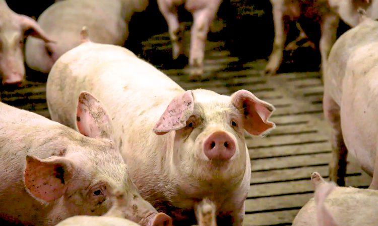 Talks begin to mitigate impact of pig factory closure