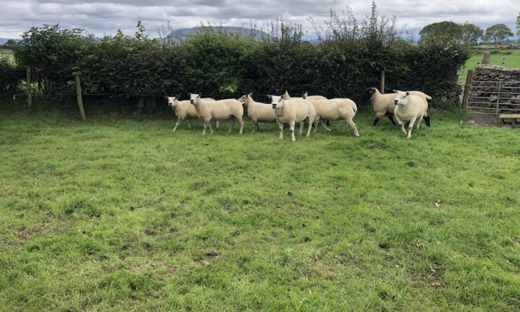 What can I do to tighten up the lambing period?