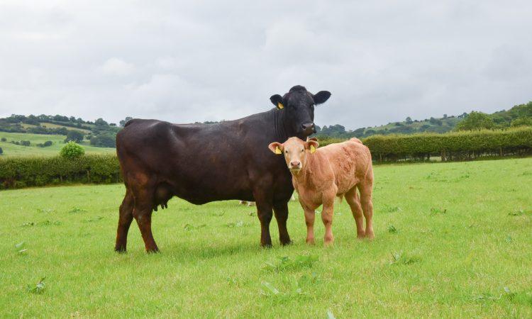 Autumn-calving advice for farmers