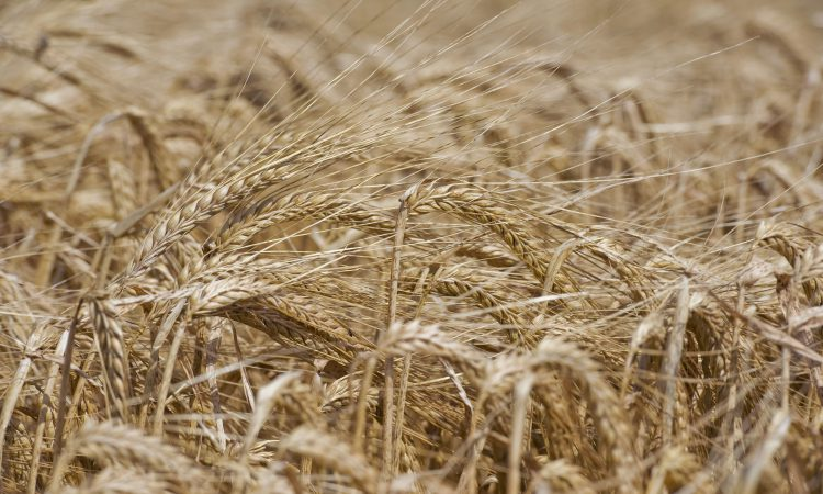 Bumper UK barley crop will not make up for reduction in wheat production