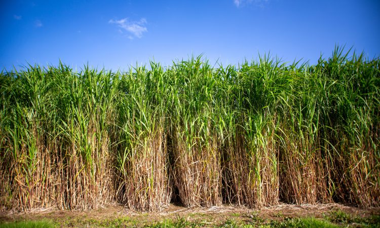 Farmers can now avail of a new renewable energy crop