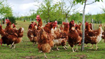 Poultry flock slaughtered on Kent farm after suspected case of avian influenza