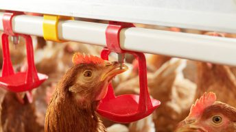 Avian Influenza Prevention Zone to be declared in Northern Ireland from midnight