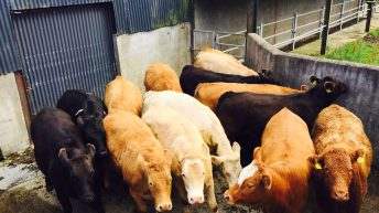 Prime cattle quotes on the rise in Northern Ireland