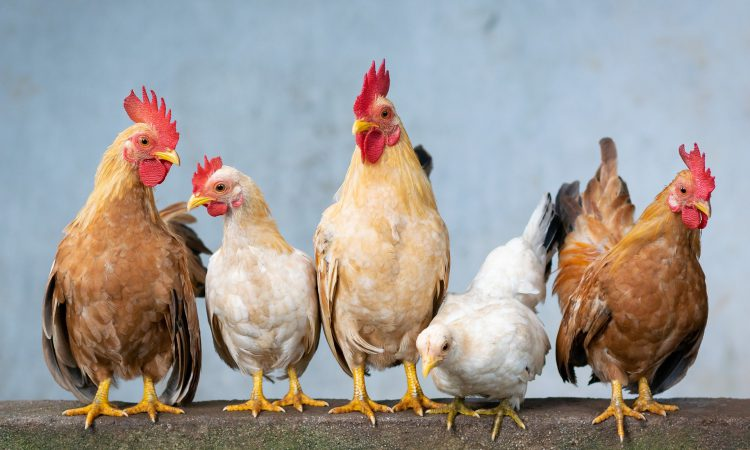 Lifting of housing measures is 'good news' for poultry keepers – NFU