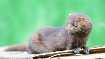 Denmark to cull all mink due to coronavirus mutation