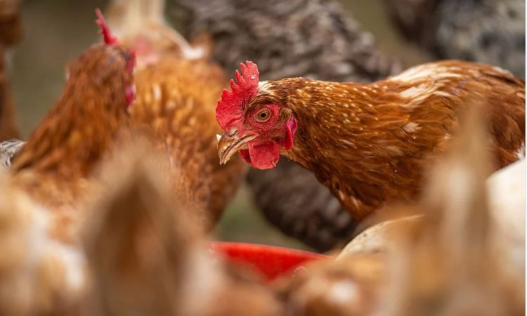 10 days for UK poultry keepers to prepare for new housing measures