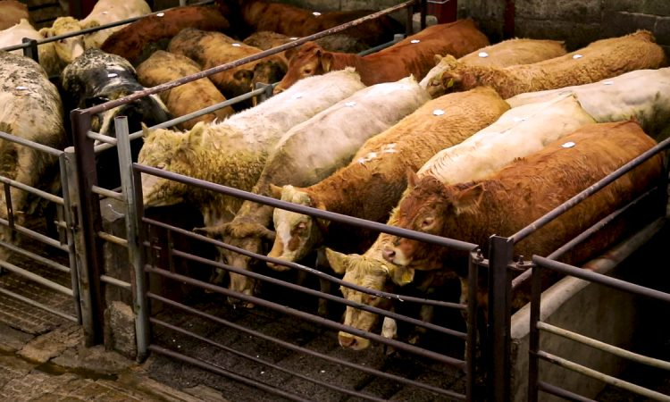 Livestock prices remain robust in early weeks of 2021