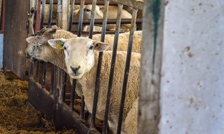 BASIS and NSA launch Register of Sheep Advisers