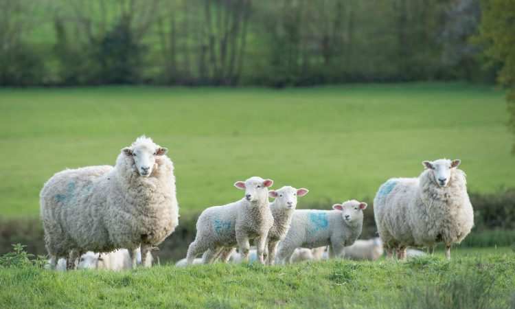 Ornamental garden plants can pose a significant poisoning risk for sheep