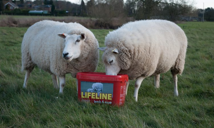 Managing ewe nutrition during lambing is essential to flock performance