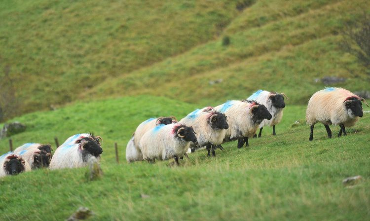 NIO advises farmers who bought sheep in Britain to resell them